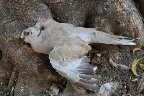 paloma,miręs balandis,paukštis,paukštis miręs,miręs paukštis,miręs,transcendencija,žvirblis,skristi,mirtis