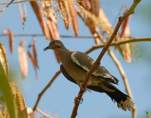 paloma,Guaje,paukštis