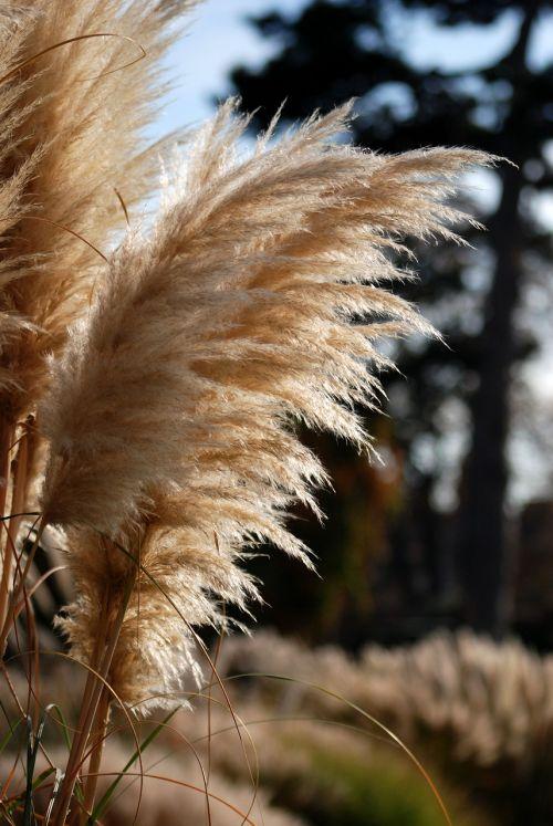 Pampas,dekoratyvinė žolė,natūralus,Iš arti,plunksninė,aukšta žolė