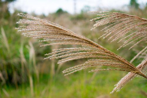pampų žolė,pampų žolių genėjimas,pampos žolė
