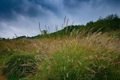 pampų žolė,pampos žolė,žolė,pampų žolių genėjimas,pampos žolė