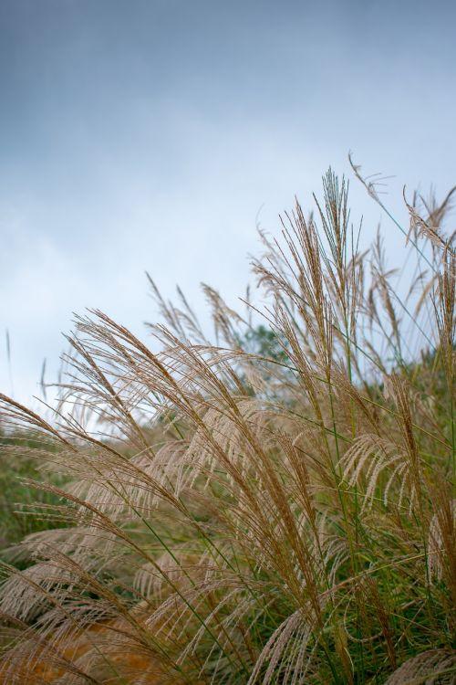 pampų žolė,pampos žolė,pampų žolių genėjimas,Pampos žolė nuo,žolė,piktžolės