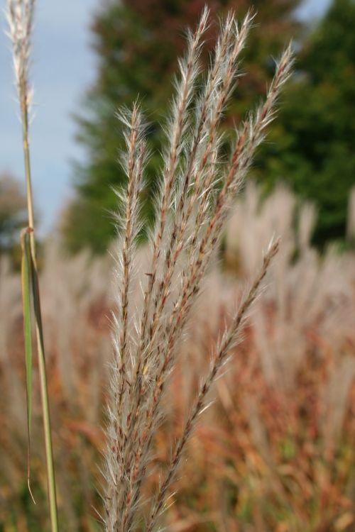 pampų žolė,žolė,dekoratyvinė žolė,plume,erianthus,laukiniai,vasara,gamta,pieva