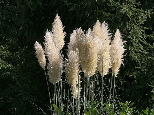 pampų žolė,gėlės,balta,gėlė,gamta,sodas,augalai,žolė,žolė,plumijas,plunksnų pašluostė