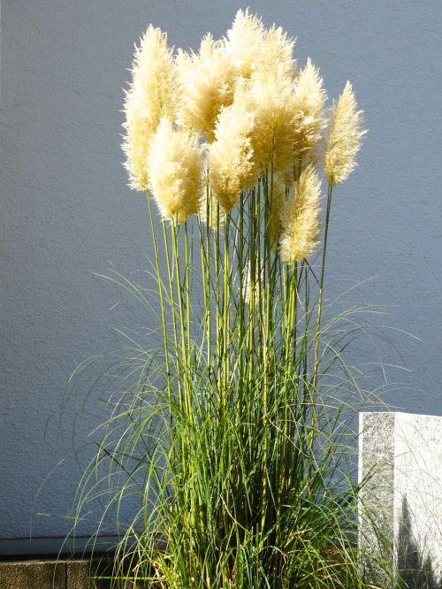 pampų žolė,žolė,purus,erdvus,gamta,augalas