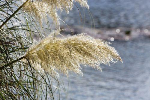 pampų žolė,dekoratyvinis,dekoratyvinė žolė,aukšta žolė,žolės,laukiniai,natūralus,vanduo,Iš arti,nuotrauka,vaizdas,gamta,lauke,niekas