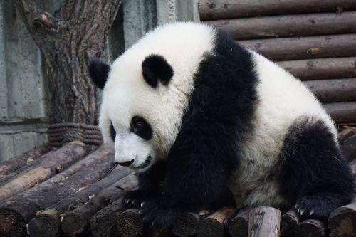 panda,suaugęs pandas,didelis pandas,laukiniai,gyvūnas,suaugęs,laukinė gamta,mielas,balta,zoologijos sodas,asija,veidas,juoda,simbolis,avatar,piktograma,kailis,kruopštus,milžinas,lėtas,didelis,žavinga