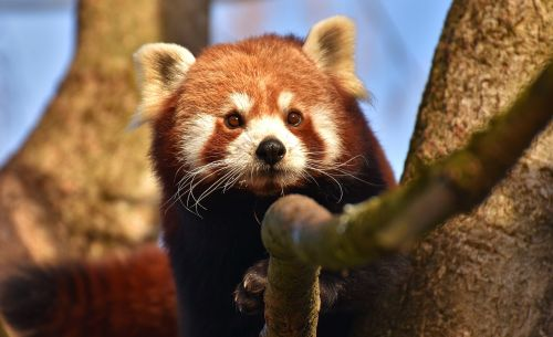 panda,Raudonoji panda,turėti katę,ugnis lapė,ailurus fulgens,plėšrūnas,žinduolis,Himalajus,Pietvakarių Kinija,Kinija,aukso šuo,zoologijos sodas,hellabrunn,tierpark hellabrunn,Munich