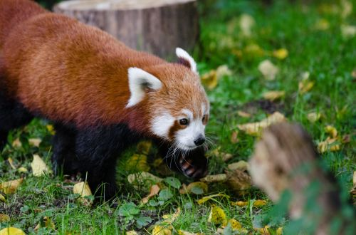 raudona, panda, kūdikis, turėti, Cub, šuo, šuniukas, Raudonoji panda