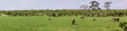 panorama,dramblys,buivolai,pelkė,pelkė žolė,valgyti,pelkė,žolė,safari,ol pejeta konservavimas,kenya,afrika,Laukiniai gyvūnai,reklama,Nacionalinis parkas,dykuma,laisvė,platus