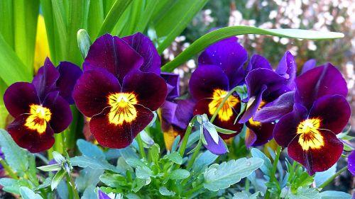 Pansy,gėlė,žiedas,žydėti,violaceae,pavasaris,violetinė,mėlynas