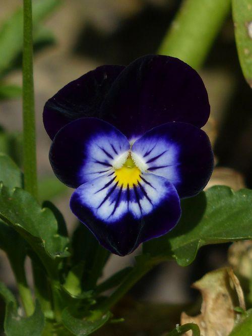 Pansy,gėlė,žiedas,žydėti,mėlynas,juoda,tamsiai violetinė,spalvinga,flora,sodas,gamta,žiedlapiai,violetinė,pavasaris,violetinė,altas,violetinė gamykla,violaceae,švelnus