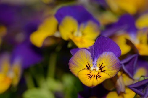 Pansy,violaceae,gėlės,violetinė,žydėti,pavasaris,Uždaryti