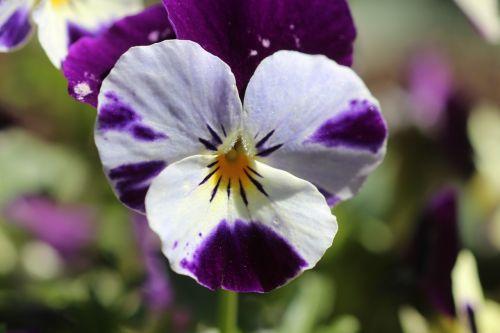 Pansy,gėlės,Uždaryti,violetinė,altas,violaceae