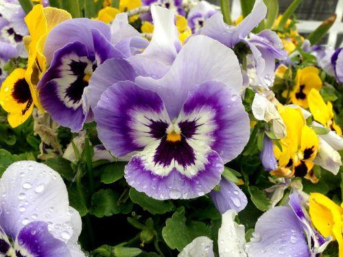 Pansy,gėlės,spalvinga,Uždaryti,žiedas,žydėti,gamta,violetinė,geltona,lašelinė,makrofotografija,pavasaris