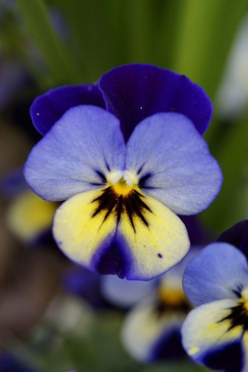 Pansy,gėlė,žiedas,žydėti,žydėti,Uždaryti,pavasaris,mėlynas,draugiškas
