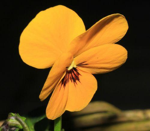 Pansy,gėlė,žiedas,žydėti,geltona,violaceae,ranunculaceae,Uždaryti,ornamentas