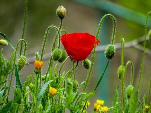 Papaver rhoeas L, aguona, gėlė, pobūdį, laukinių gėlių, pavasaris, raudona, gėlės, gyvenimas, žolė, raudonos gėlės, laukinių, laukinių gėlių