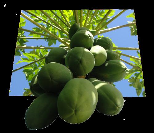 papajos,vaisiai,maistas,tropiniai vaisiai,vaisių bomba,sveikas