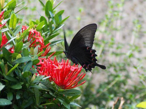 papilio,imtis,nektaras