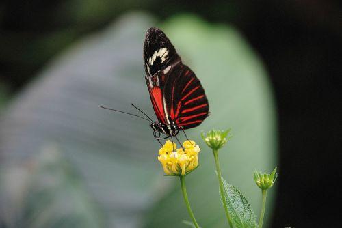 papilio rumanzovia,drugelis,gyvūnas,vabzdys,elymnias hypermnestra,gamta,gyvūnai,ruda,balta,žalias,lapai,raudona,grožis,pavasaris