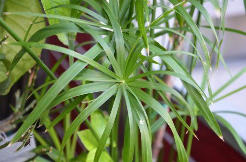 papirusas,visada žalia,gamta