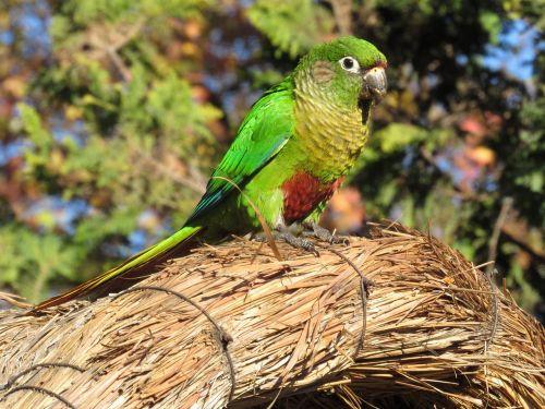 parakeet,paukštis,Brazilijos paukštis,paukštis,aplinka,atogrąžų paukštis