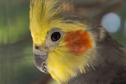 parakeet nymphique,nymphicus hollandicus,elegantiškas cockatiel,paukščiai,parakeets,gamta,gyvūnai,plumėjimas,plunksnos,spalvos,egzotinė paukštis,rytinė rosella
