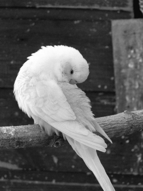 parakeets,paukščiai,paragetas gofruotas,gyvūnai,gyvūnas,juoda,balta,juoda ir balta,paukščio nuotrauka,juoda ir balta paukščio nuotrauka,gyvūninės nuotraukos,juoda ir balta fotografuoti gyvūnai,paukštynas,miegoti,valymas,tualetas,nuplauk sau,valo,Patinas,paukštis paukštis,vyrų parabatas,gofruotiniai vyriški parabaketai,poilsis,mėlynas