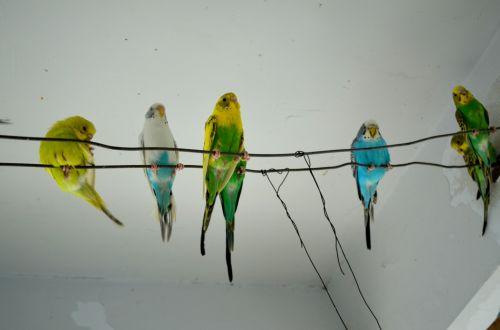 gyvūnai, parakeet, parakeets, budgie, naminis gyvūnėlis, augintiniai, sėdėti, sėdi, parapetai sėdi