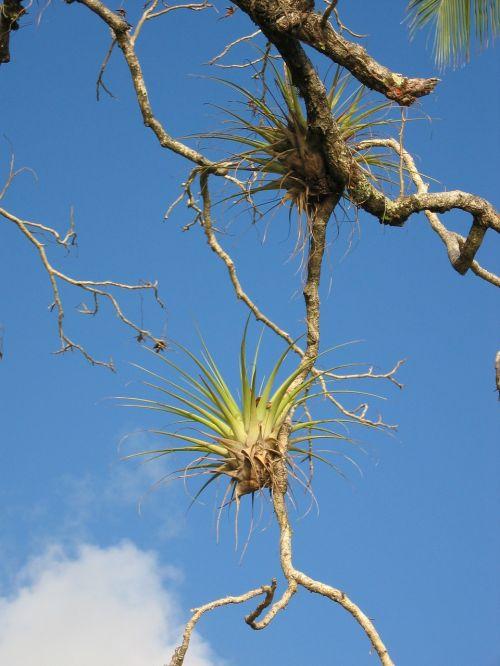 parazitas,bromeliadas,filialas,augti,priklausyti,medis