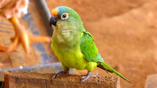 Papūga, Parakeet, Fauna, Atogrąžų, Brazilija, Paukščiai, Brazilijos Fauna, Atogrąžų Paukščiai, Paukštis, Gamta, Brazilijos Paukštis, Aplinka, Spalvinga, Paige, Gyvūnai, Paukštis, Gyvūnas, Atogrąžų Paukštis, Zoologijos Sodas