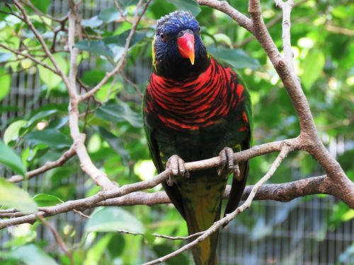 papūga,paukštis,macaw,gražus paukštis,mielas paukštis,spalvingas papūgas,spalva,raudona,raudona nosis,mielas,sėdi,poilsis,žiūri,spalvinga paukštis,laukimas,medžio šaka,medis,filialas