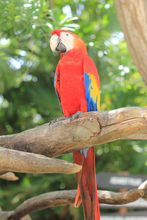 papūga,raudona macaw,ave,macaw,paukštis,zoologijos sodas,gamta,egzotinė paukštis,rašiklis,gyvūnas,džiunglės,gyvūnai,piko,spalva,plumėjimas,atogrąžų paukštis,žalias,spalvos,raudona priekinė dalis,geltona,sparnai,nelaisvė,meksikietis,Meksika,raudona,nuotrauka,Laisvas
