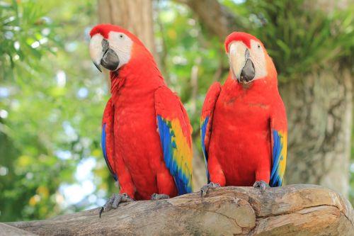 papūga,raudona macaw,ave,macaw,paukštis,zoologijos sodas,gamta,egzotinė paukštis,rašiklis,gyvūnas,džiunglės,gyvūnai,piko,spalva,plumėjimas,atogrąžų paukštis,žalias,spalvos,raudona priekinė dalis,geltona,sparnai,nelaisvė,meksikietis,Meksika,raudona,nuotrauka,laisva gamta,medžiai,kava,augalai,kraštovaizdis