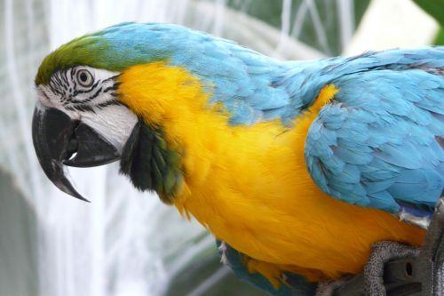 papūga,paukštis,plumėjimas,spalvinga,gyvūnas,sąskaitą,spalvinga plunksna,atogrąžų,gyvūnų portretas