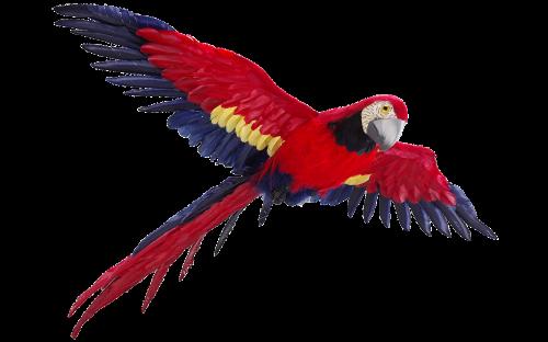 papūga,izoliuotas,skrydis,spalvinga plunksna,paukštis,spalvinga,plumėjimas