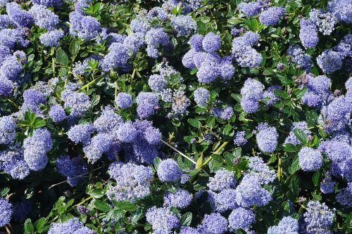 gėlės, rutuliai, flora, žydėti, mėlynas, botanikos, vasara, geliu lova, geliu lova