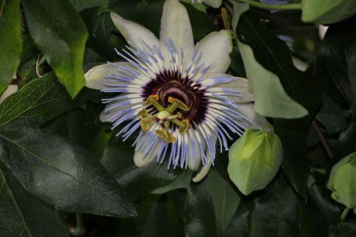pasiflora caerulea,bendra aistra gėlė,makro nuotrauka,gėlė,mėlynas karūnas,penkių žaizdų gėlė,pietų grožis,laukinis abrikosas,Jėzaus gėlė