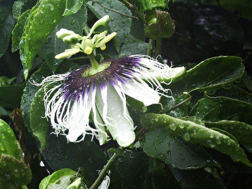 aistra gėlė,gėlė,pasiflora,aistra gėlių augalas,pasifloraceae,augalas,Lotynų Amerika,maraguya,žalias,gamta,neotropinis ezoconas,mėlyna aistra gėlė,pasiflora caerulea