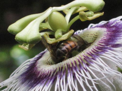 Granadilla, gėlė, balta, žalias, violetinė, ūseliai, vynmedis, karūna, žiedlapiai, sepals, subtilus, bičių, aistra gėlė