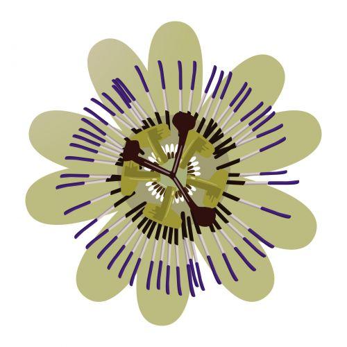 gėlė, aistra, vynmedis, mėlynas, izoliuotas, apdaila, šilkinis, atogrąžų, gėlių, žiedlapis, sezoninis, botanikos, auga, blizgus, šviesus, simbolis, šventinis, sepal, žiedas, žydėti, sodininkystė, flora, stiebas, tekstūra, augalas, grynas, gražus, tamsiai raudona, gamta, aistra gėlė