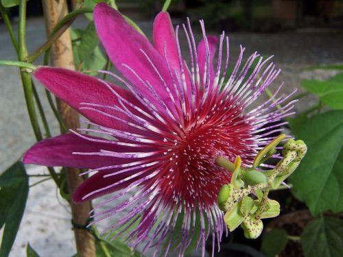 Arizonų aistražolė,hibridas,creeper,rosa,sepals,vilios,žiedlapiai