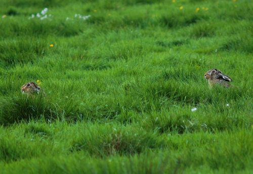 ganykla,žolė,2 triušiai,paslėpta,parodė du,žalias