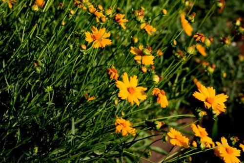 sodas, augalai, gėlės, pleistras, rozės, geltona, geltonų ramunėlių pleistras