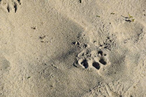 smėlis, šuo, spausdinti, paw, šešėlis, kabliukas, spaudiniai, izoliuotas, tan, papludimys, kojos spausdinti smiltoje