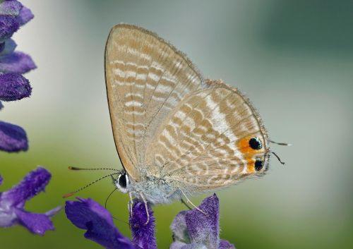 drugelis, makro, uždaryti & nbsp, turilue, subtilus, sparnai, augalas, laukinė gamta, gamta, viešasis & nbsp, domenas, tapetai, fonas, gėlė, žydėti, asija, lemputės & nbsp, boeticus, žiedas, nektaras, ilgas & nbsp, dangtis mėlynas, turilue drugelis