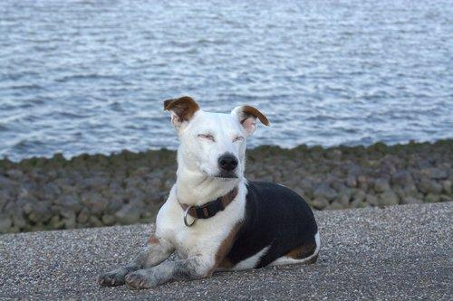 taikos šuo, atsipalaidavę, Džeko Raselo, vatų bėgikas, terjeras, naminis šuo, augintinė, gyvūnas, mielas, grynaveislis šuo, mažas, gyvūnų portretas, šuo, lojalumas, trumpi plaukai, medžioklinis šuo, saldus, Iš arti, knuffig, prie jūros, trumpaplaukis