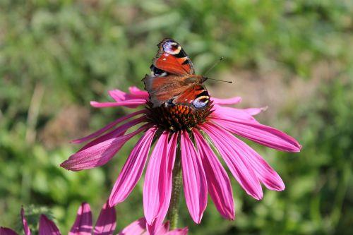 Povas drugelis,gėlė,vasara,Povų drugelis,inachis io,nymphalis io,drugeliai,edelfalter,nymphalidae