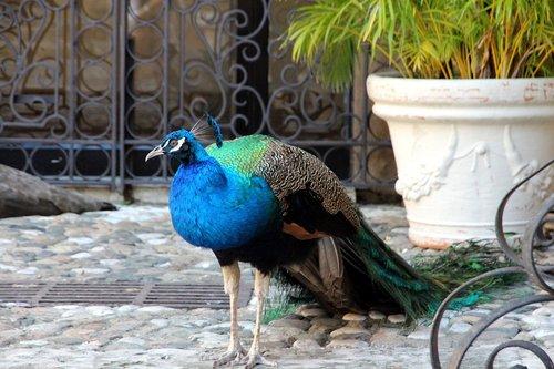 Povas, uodega, paukštis, ne žmogus, pobūdį, plunksnuočių lenktynės, Gražu, gyvūnas, gyvosios gamtos, namai